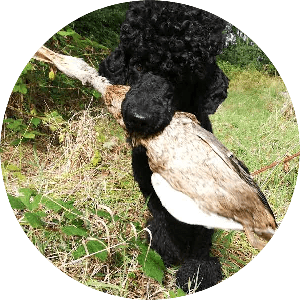 Anti-Jagd training Pudel